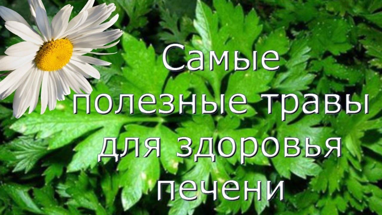 Монастырский печеночный чай — сила растений для защиты печени