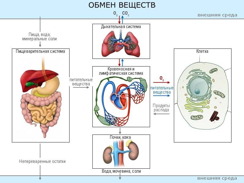 Обменные процессы в человеческом организме